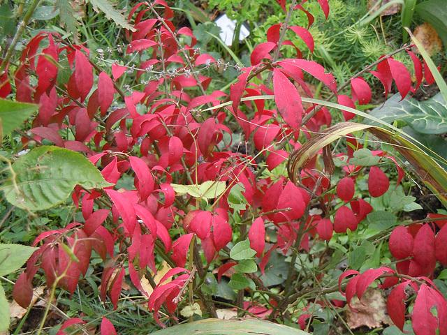 Euonymus alatus - fusain ailé 7_abei10