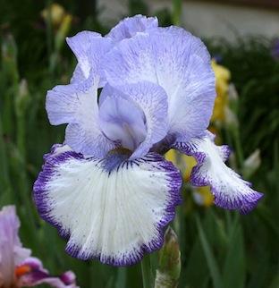 Schreiner - Iris 'Art Deco' - Schreiner 1997 7momen11