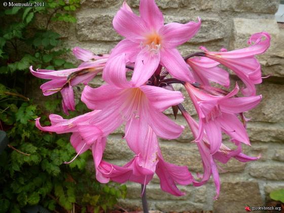 Amaryllis belladona 7mont10