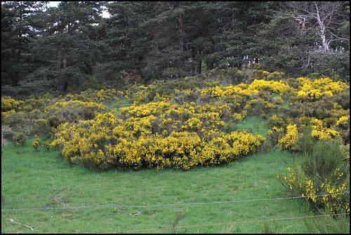 Cytisus oromediterraneus (= C. purgans) - genêt purgatif 7neir_10