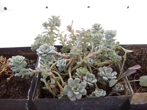 Sedum spathulifolium 7sol10