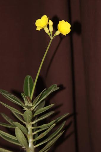 Pachypodium rosulatum 7tika10