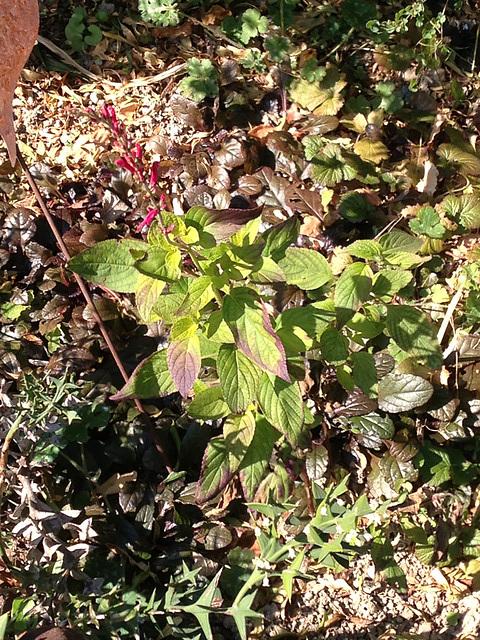 Salvia elegans 8-abei10