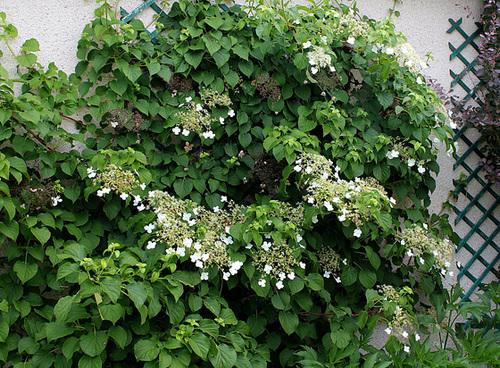 Hydrangea petiolaris 8-neir11