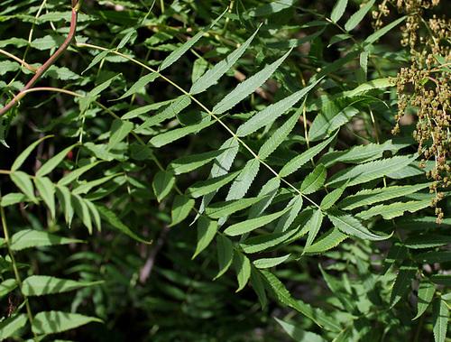Sorbaria sorbifolia - sorbaria à feuilles de sorbier 8100