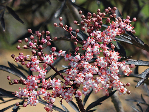 Sambucus nigra et cultivars - sureau noir 8101