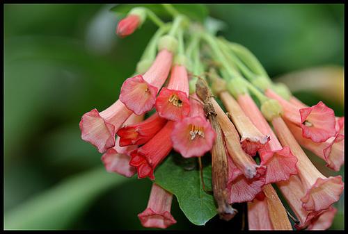 Iochroma australe (= Acnistus australis) 8102