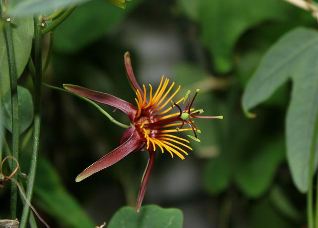 Passiflora 'Sunfire' - hybride de 'Sunburst' 8105