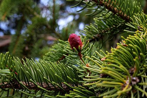 Picea abies (= Picea excelsa) - épicéa commun 8107