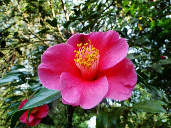 Camellia - choix & conseils de culture 8108