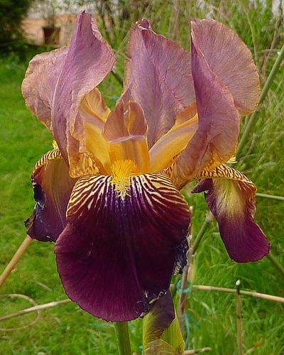 Floraisons de nos Iris barbus 2013 - Page 4 8111