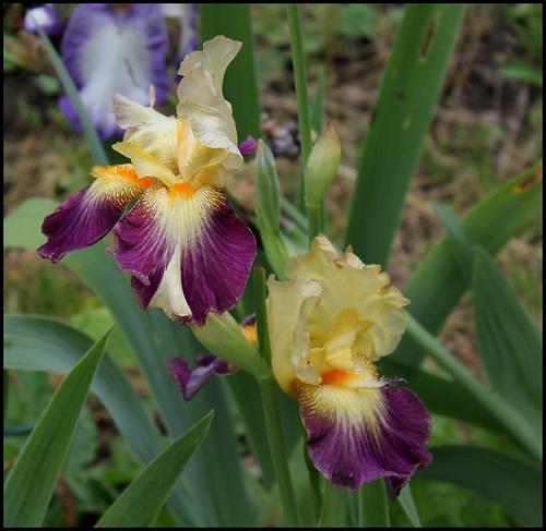 Anomalies chez les iris barbus - pélorisme et chimères 8114