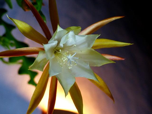 Epiphyllum anguliger 817