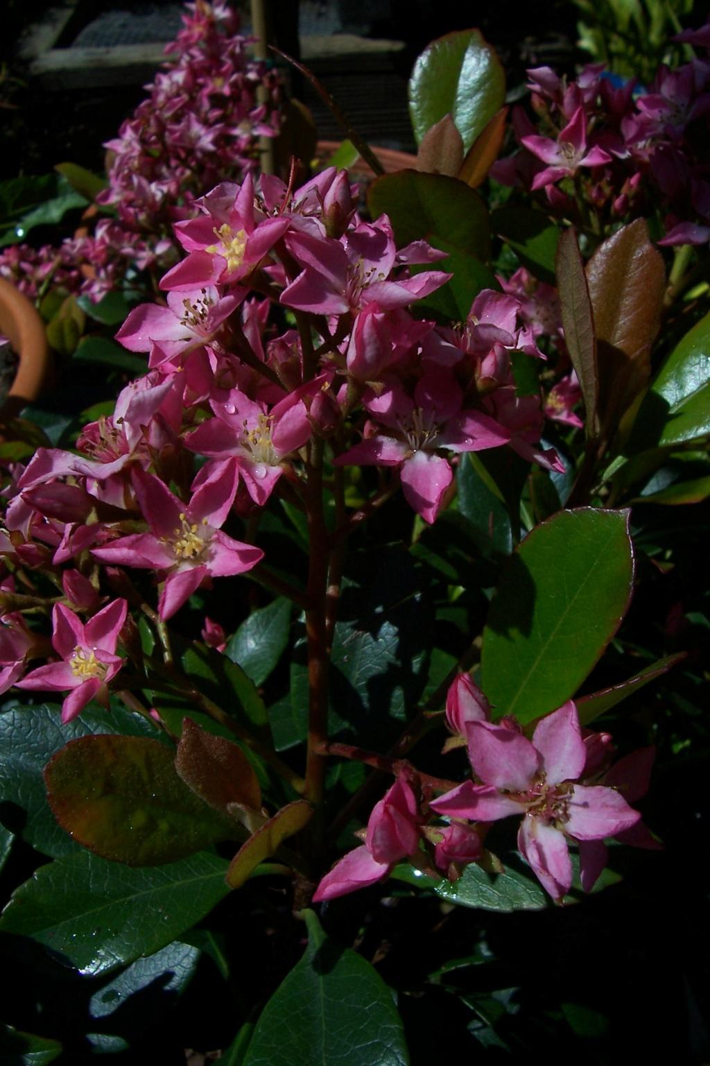 Rhaphiolepis x delacourii 'Springtime' 879