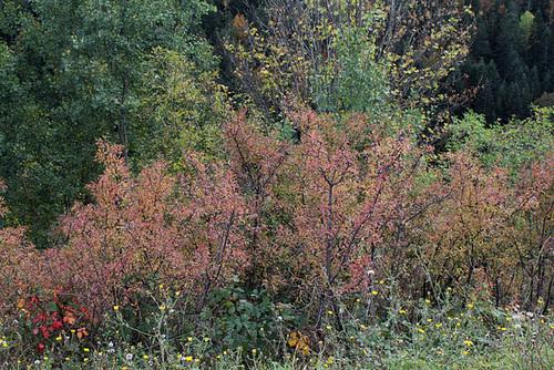 Prunus spinosa - prunellier, épine noire 880