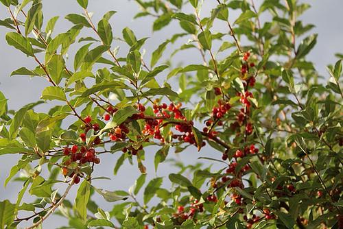 Elaeagnus x submacrophylla (= Elaeagnus x ebbingei) 882