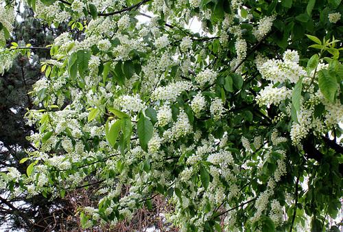 Prunus padus - cerisier à grappes - espèce et cultivars  885