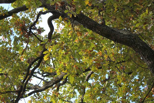 Quercus pedonculatus - chêne pédonculé 888