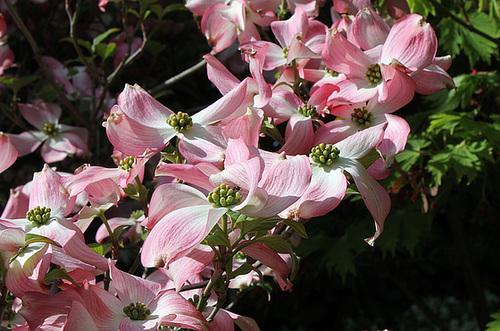 Cornus florida - cornouiller à fleurs  890