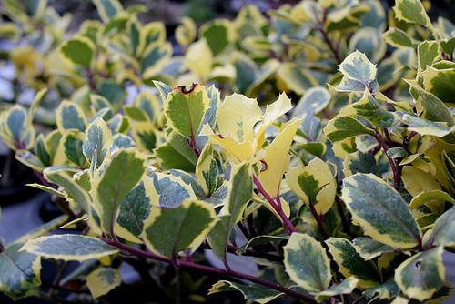 Ilex aquifolium - houx commun  891