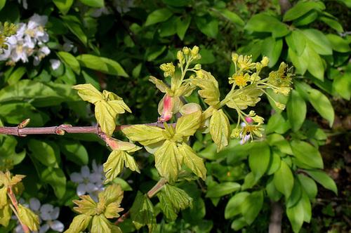 Acer campestre - érable champêtre 892