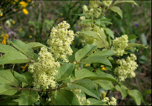 Sambucus racemosa - sureau rouge 895