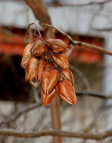 *koelreu* - Koelreuteria paniculata - savonnier 896