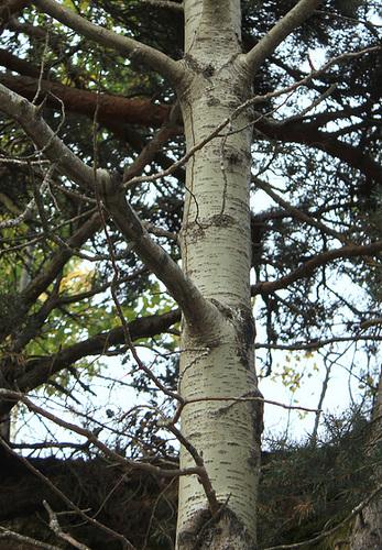 Populus tremula - tremble, peuplier tremble  897