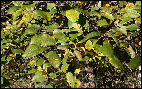 Salix caprea - saule marsault, saule des chèvres 8_10