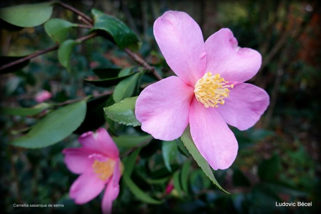Floraisons automnales et de fin d'année , camellias etc... 8b_lud10
