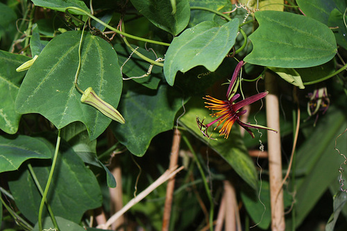 Passiflora 'Sunfire' - hybride de 'Sunburst' 9-25_j10
