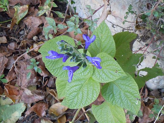 Salvia guaranitica 9-abei10