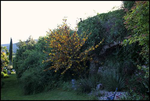 Fremontodendron californicum 9-neir11
