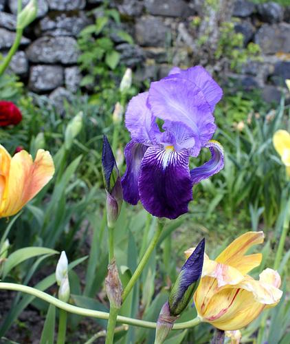 Floraisons de nos Iris barbus 2013 - Page 7 9-neir12