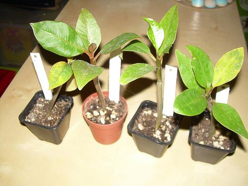 Plumeria - frangipanier 9-phoe10