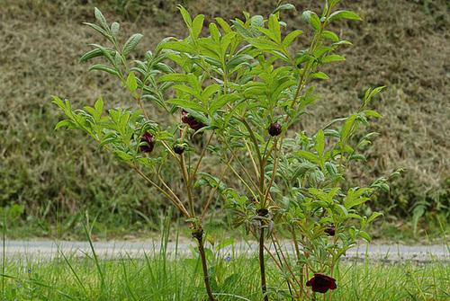Paeonia - pivoines arbustives 9-serg11
