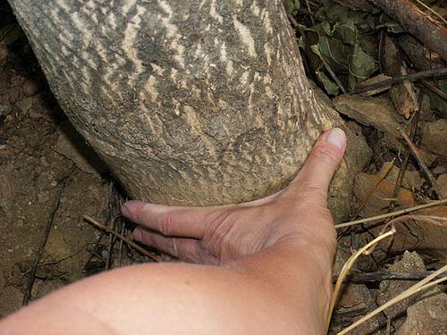 Ailanthus altissima - ailante 928