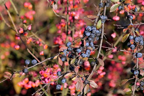 Prunus spinosa - prunellier, épine noire 961
