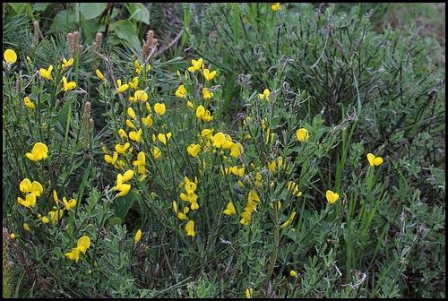 Cytisus oromediterraneus (= C. purgans) - genêt purgatif 962