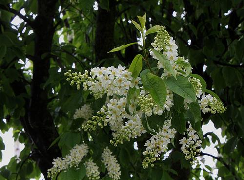 Prunus padus - cerisier à grappes - espèce et cultivars  964