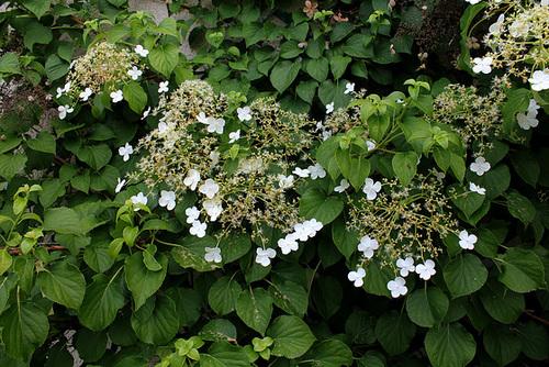 Hydrangea petiolaris 966