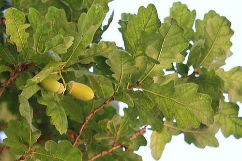 Quercus pedonculatus - chêne pédonculé 968