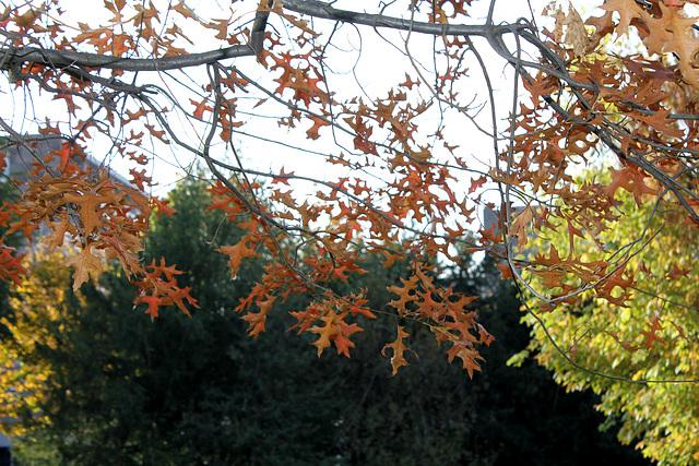 Quercus rubra, Quercus coccinea, Quercus palustris - chênes rouges américains 969