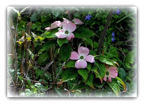 Cornus florida - cornouiller à fleurs  971