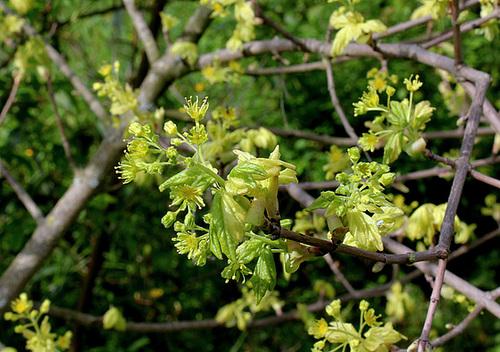Acer campestre - érable champêtre 973