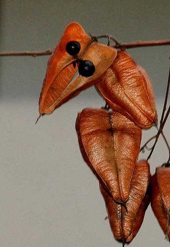 *koelreu* - Koelreuteria paniculata - savonnier 974