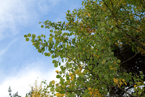 Populus tremula - tremble, peuplier tremble  975