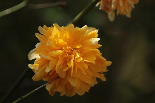 Kerria japonica - corète du Japon 977