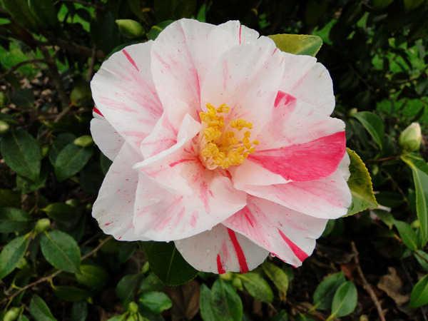 Camellia - choix & conseils de culture 980