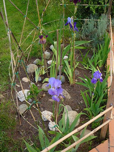 Floraisons de nos Iris barbus 2013 - Page 4 982